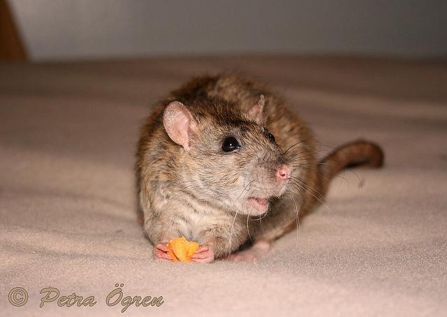Rat Goodie