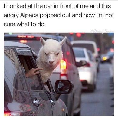 Alpacca.jpg