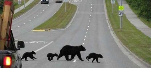 Bears-3