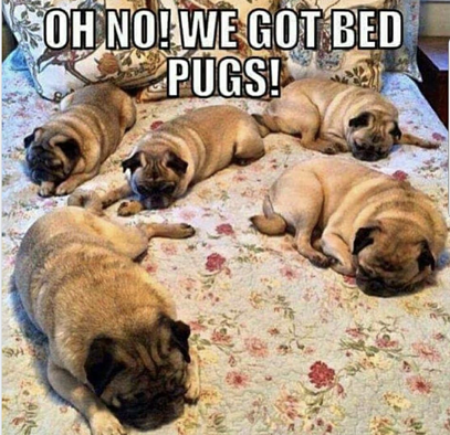 Bed Pugs