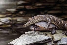 Crocodile Spooning.jpg