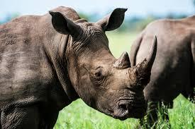 Gray Rhino