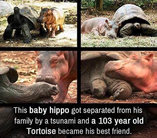 Hipo Tortoise