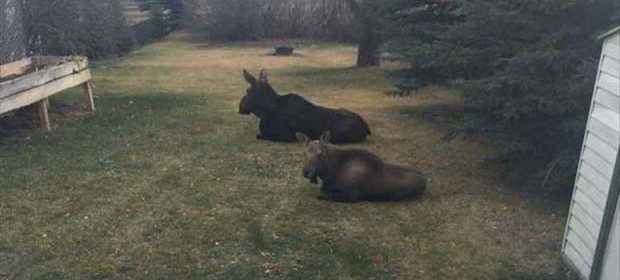 More Moose.jpg