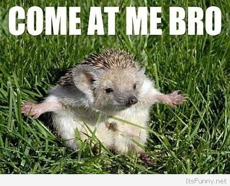 Porcupine-ready-for-fight