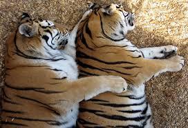 Tiger Spooning.jpg